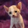 Cornish Rex Kitten Female #2  at 4 weeks old--- Reserved