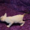 Cornish Rex Kitten Female #1 at 4 weeks old- Reserved