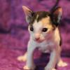Cornish Rex Kitten Female #3 at 4 weeks old- Reserved