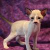 "Meet ""Arthur"" -Cornish Rex Kitten male at 4 weeks old  -Reserved"