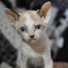 Cornish Rex Kitten Female #2  at 5 weeks old--- Reserved