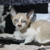 "Meet ""Arthur"" -Cornish Rex Kitten male at 5 weeks old  -Reserved"