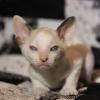 Cornish Rex Kitten Female #1  at 5 weeks old-- Reserved