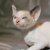 Cornish Rex Kitten Female #1  at 6 weeks old-- Reserved