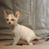 Cornish Rex Kitten Female #2  at 6 weeks old--- Reserved