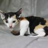Cornish Rex Kitten Female #3 at 6 weeks old- Reserved