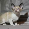 "Meet ""Arthur"" -Cornish Rex Kitten male at 6 weeks old  -Reserved"
