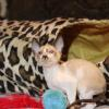 "Meet ""Arthur"" -Cornish Rex Kitten male at 7 weeks old  -Reserved"