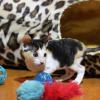 Cornish Rex Kitten Female #3 at 7 weeks old- Reserved