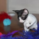 Meet 'Percy'  white/black kitten #4 at 5 weeks old. Reserved for the Clor family.