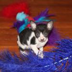 Meet 'Frankie'  black/white kitten #3 at 5 weeks old. Reserved for the Martinez family.