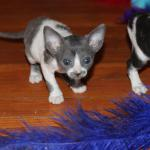 Meet 'Teaka'  blue/white kitten #2 at 5 weeks old. Reserved for the Yamada family.