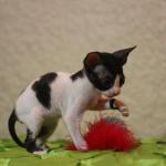 """Percy"" - White/black kitten #4 at 6 weeks old. Reserved for the Clor family."