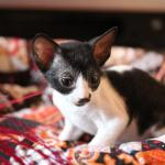 """Frankie"" - Black/white kitten #3 at 7 weeks old. Reserved for the Martinez family."