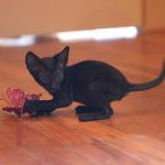 """Pippa""- Solid black kitten #5 at 7 weeks old. Reserved for the Mead family."