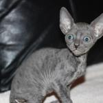 """Finnick"" - Solid blue kitten #1 at 8 weeks old. Reserved for the Williams family."