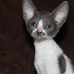 """Teaka"" - Blue/white kitten #2 at 8 weeks old. Reserved for the Yamada family."