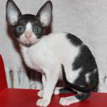 """Percy"" - White/black kitten #4 at 8 weeks old. Reserved for the Clor family."