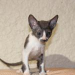 """Teaka"" - Blue/white kitten #2 at 9 weeks old. Reserved for the Yamada family."