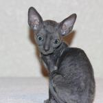 """Finnick"" - Solid blue kitten #1 at 10 weeks old. Reserved for the Williams family."