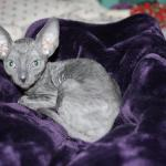 """Finnick"" - Solid blue kitten #1 at 11 weeks old. Reserved for the Williams family."