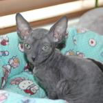 """""Finnick"" - Solid blue kitten #1 at 11 weeks old. Reserved for the Williams family."