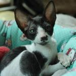 """Frankie"" - Black/white kitten #3 at 11 weeks old. Reserved for the Martinez family."