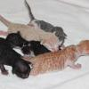 Group Picture Sasha's kittens born 6/8/15 Available