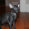Sasha's Kitten #5 solid black male at 9 weeks old.  Reserved for the Spriestersbach family.